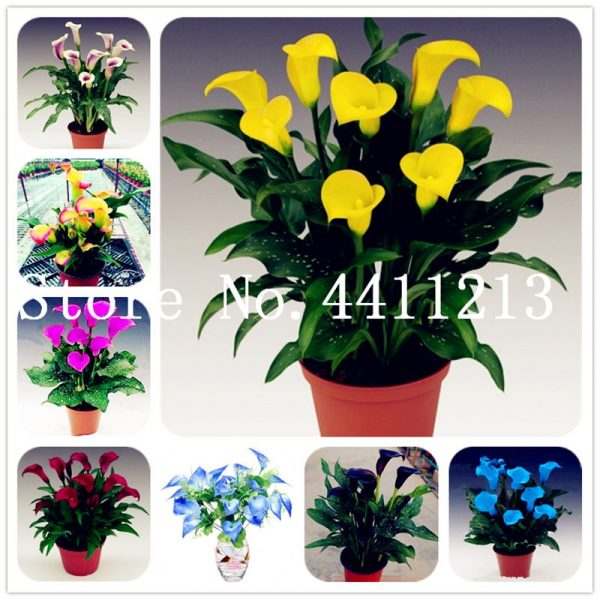 100 Pcs Calla Lily Bonsai,Rare Plants Flowers,Room Flowers Rhizome Zantedeschia Houseplant on
